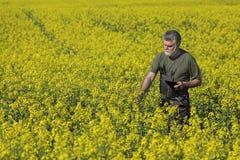 Agricoltura, piante d'esame del grano dell'agricoltore nel campo Fotografia Stock