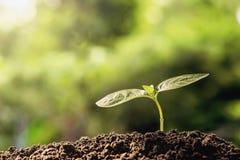 agricoltura plantula che cresce sui suoli fotografie stock libere da diritti