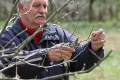 Agricoltura, potante nel frutteto, funzionamento dell'uomo senior Fotografia Stock