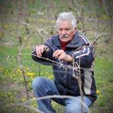 Agricoltura, potante nella vigna, funzionamento dell'uomo senior Immagine Stock