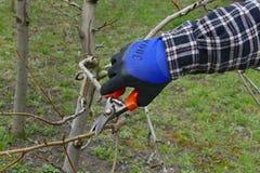 Agricoltura, potatura dell'albero nel frutteto Fotografia Stock Libera da Diritti