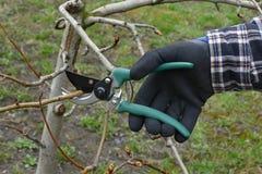 Agricoltura, potatura dell'albero nel frutteto Immagine Stock Libera da Diritti