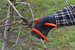 Agricoltura, potatura dell'albero nel frutteto Immagini Stock