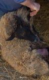 Agricoltura preoccuparsi per le pecore fotografie stock libere da diritti