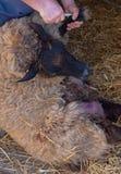 Agricoltura preoccuparsi per le pecore immagine stock libera da diritti