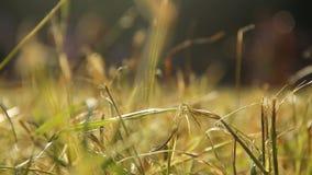 Agricoltura, punto di vista del primo piano di erba sul giacimento di grano, natura ed ecologia archivi video
