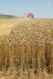 Agricoltura, raccolto del grano Fotografia Stock Libera da Diritti