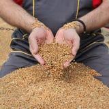 Agricoltura, raccolto del grano, agricoltore ed il raccolto Immagine Stock
