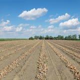Agricoltura, raccolto della cipolla Fotografia Stock