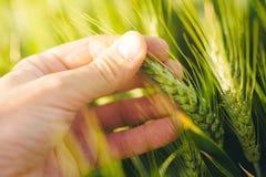 Agricoltura responsabile, crescita di piante di controllo del grano dell'agricoltore Fotografie Stock