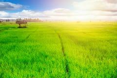 Agricoltura rurale della campagna Campo di erba verde del riso del prato Fotografie Stock Libere da Diritti