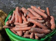 Agricoltura, secchio verde con le carote raccolte Fotografia Stock