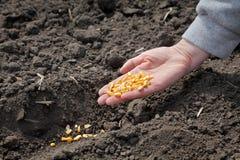 Agricoltura, semina del cereale Fotografia Stock Libera da Diritti
