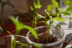 Agricoltura, seminante, concetto crescente del seme della pianta Fotografia Stock