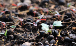 Agricoltura, seminante, concetto crescente del seme della pianta con il fertilizzante organico del concime delle pecore Fotografia Stock Libera da Diritti