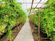 Agricoltura, serra Fotografia Stock