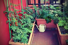 Agricoltura sostenibile quali i pomodori crescenti in vasi con Fotografie Stock Libere da Diritti