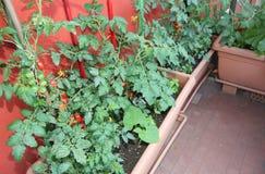 Agricoltura sostenibile quali i pomodori crescenti in vasi sul Immagini Stock Libere da Diritti