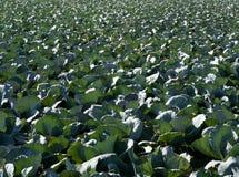 Agricoltura in Spagna, coltura del cavolo Immagine Stock