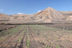 Agricoltura su Lanzarote, Spagna Immagine Stock Libera da Diritti