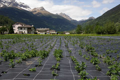 Agricoltura in Svizzera. Immagine Stock Libera da Diritti