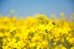 Agricoltura svizzera - campo del seme di ravizzone con la bella nuvola - pianta per energia verde Fotografie Stock Libere da Diritti