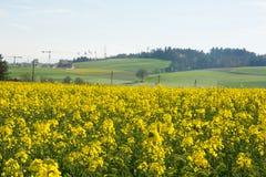 Agricoltura svizzera - campo del seme di ravizzone con la bella nuvola - pianta per energia verde Fotografia Stock