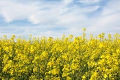 Agricoltura svizzera - campo del seme di ravizzone con la bella nuvola - pianta per energia verde Immagine Stock Libera da Diritti