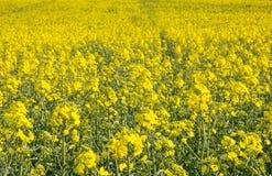 Agricoltura svizzera - campo del seme di ravizzone con la bella nuvola - pianta per energia verde Immagini Stock Libere da Diritti