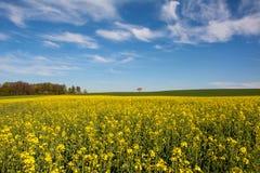 Agricoltura svizzera - campo del seme di ravizzone con la bella nuvola - pianta per energia verde Fotografia Stock Libera da Diritti