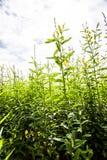 Agricoltura in terreno coltivabile Immagini Stock
