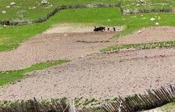 Agricoltura tradizionale. Svaneti superiore. Georgia. Fotografia Stock