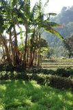 Agricoltura tropicale dei campi Fotografia Stock Libera da Diritti