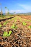 Agricoltura tropicale, Tailandia Immagini Stock Libere da Diritti