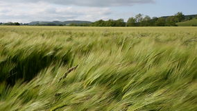 Agricoltura - vento - il raccolto di orzo archivi video