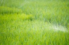 agricoltura verde d'innaffiatura del campo di risaia in Asia bella Immagini Stock Libere da Diritti