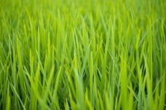 agricoltura verde del campo di risaia nel bello fondo dell'Asia Fotografie Stock Libere da Diritti