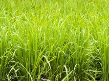 Agricoltura verde fresca del giacimento del riso Fotografia Stock Libera da Diritti