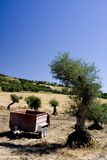 Agricoltura verde oliva Fotografia Stock