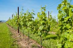 Agricoltura, vigna in primavera Fotografia Stock Libera da Diritti