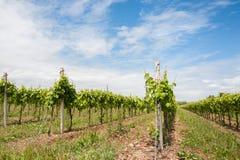 agricoltura Vigna in primavera Fotografia Stock Libera da Diritti