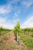 agricoltura Vigna in primavera Immagine Stock
