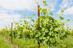 Agricoltura, vigna in primavera Immagine Stock Libera da Diritti