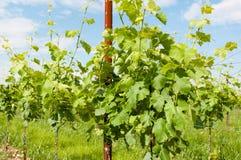 Agricoltura, vigna in primavera Fotografia Stock