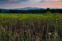 Agricolture della piantagione della manioca e coltivare nella sera dopo Fotografia Stock Libera da Diritti