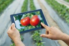 Agriculteur à l'aide de la tablette dans la serre chaude Tomatoe naturel mûr Photo libre de droits