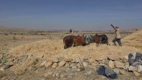 Agriculteur éthiopien employant ses vaches pour la récolte de battage banque de vidéos