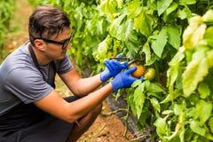 Agriculteur amical au travail avec la tomate hatvest en serre chaude Photographie stock libre de droits