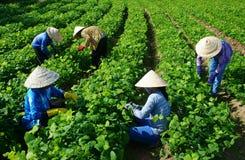 Agriculteur asiatique travaillant au champ d'agriculture Images libres de droits