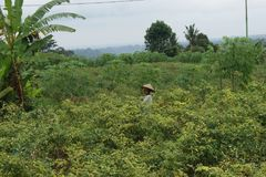 Agriculteur au gisement de poivre - scène typique de rue de balinese Images libres de droits